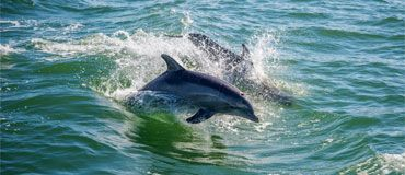 Photo of dolphins swimming in the gulf.